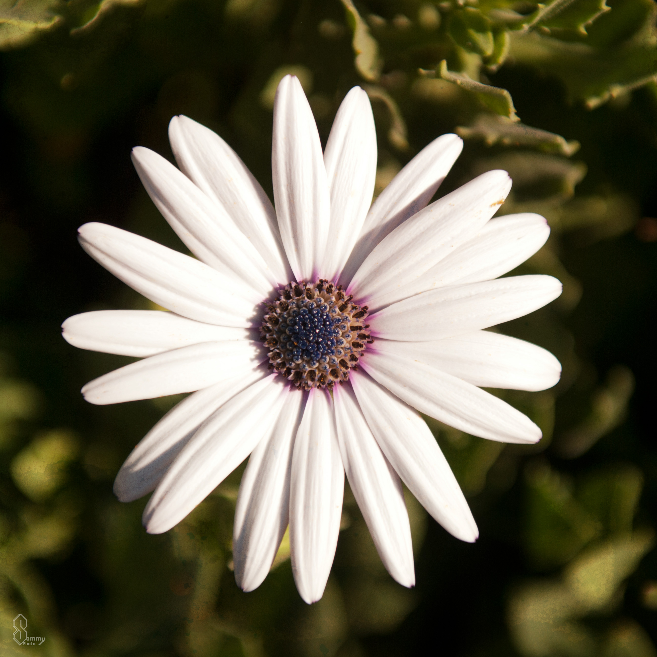 Floral photography sammy photo this minimalistic white purple eyed daisy was my favorite flower of the day the perfectly round shape of daisy petals is phenomenal izmirmasajfo
