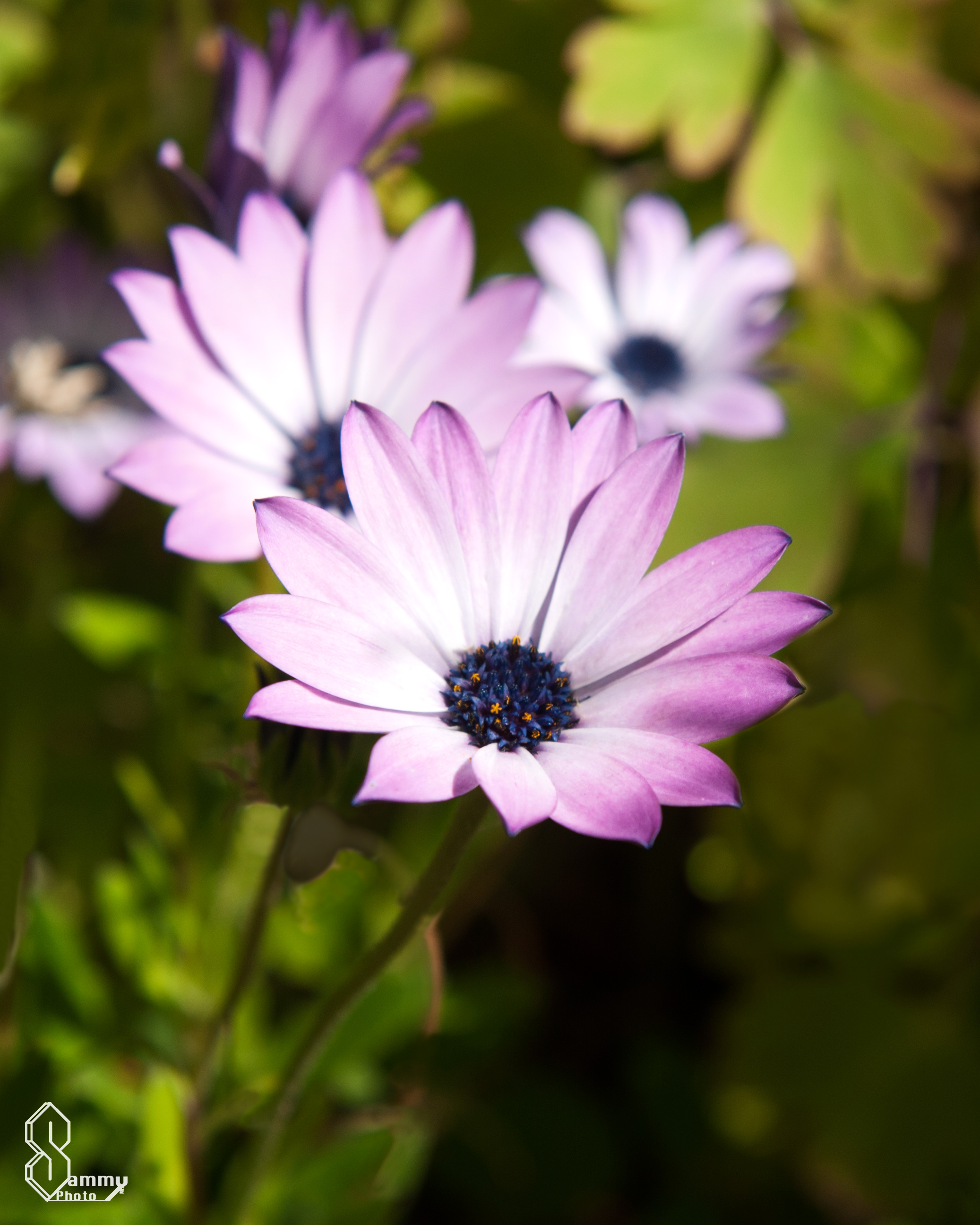 Flowers sammy photo this is a beautiful purple and white daisy the blue center of the flower looks amazing next to the soft purple of the flower petals izmirmasajfo