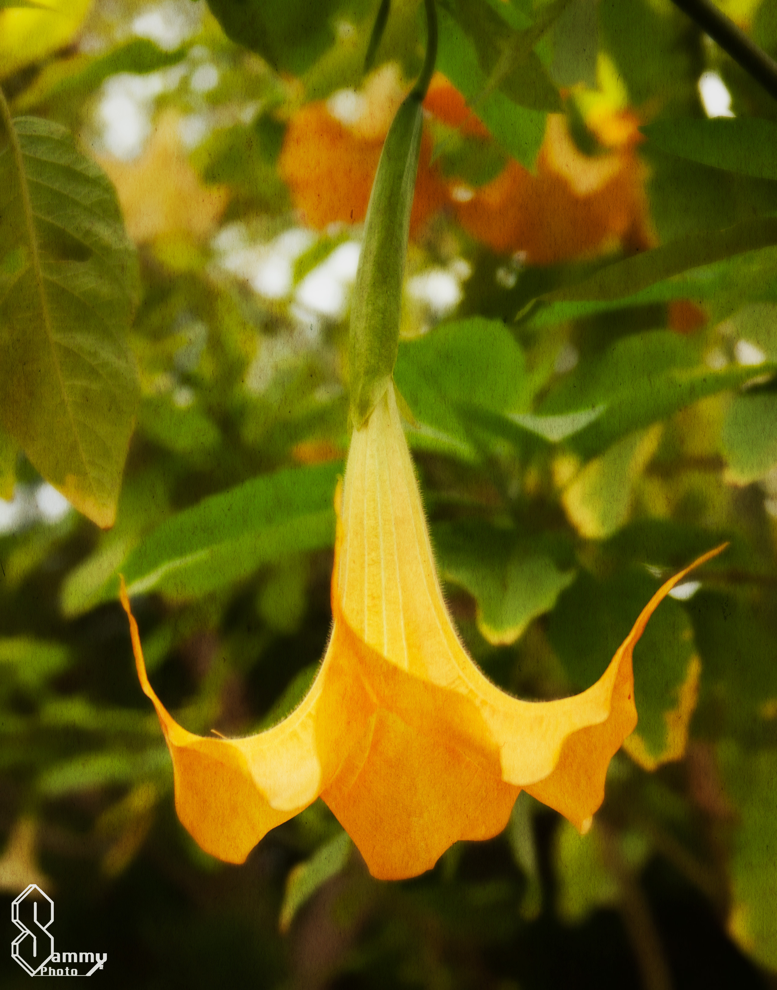 Yellow flower sammy photo page 2 angels trumpets are beautiful big yellow flowers i love the shape of the brugmansia flower mightylinksfo