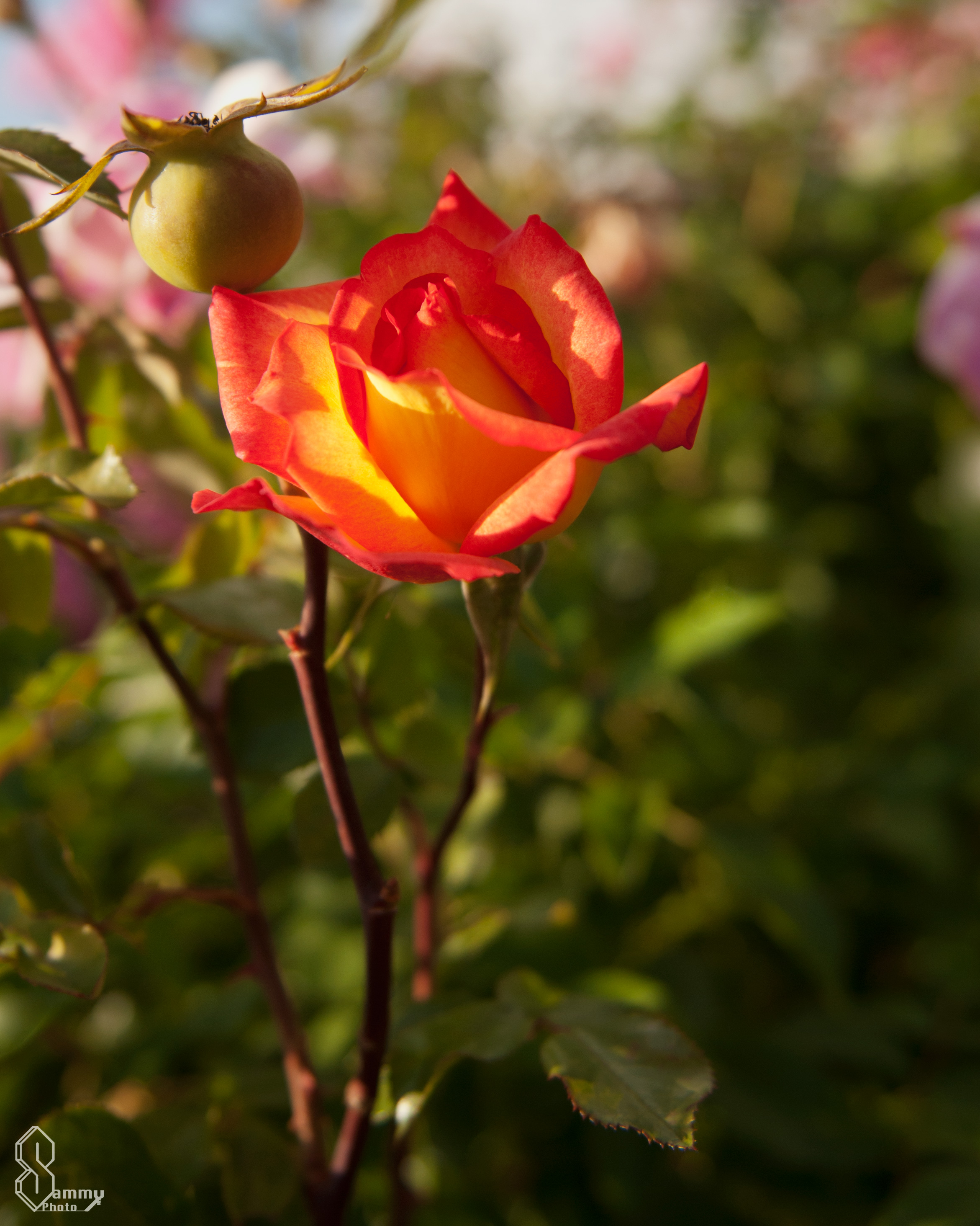 Flower friday rose garden sammy photo my favorite winter hardy rose is the rainbow sorbet this roses is a beautiful orange color with a bold red border izmirmasajfo